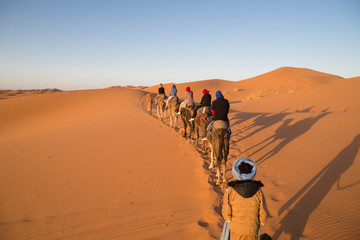 Dromedary camels strolling through the dunes of the Sahara desert during sunset.