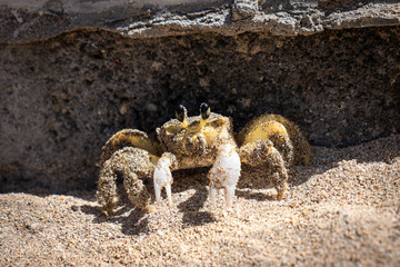 Tropical yellow caribbean crab on sand - Martinique island