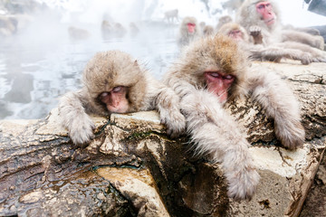 Sleeping Snow monkeys from Jigokudani Monkey Park in Japan, Nagano Prefecture. Cute Japanese macaques sitting in a hot spring.
