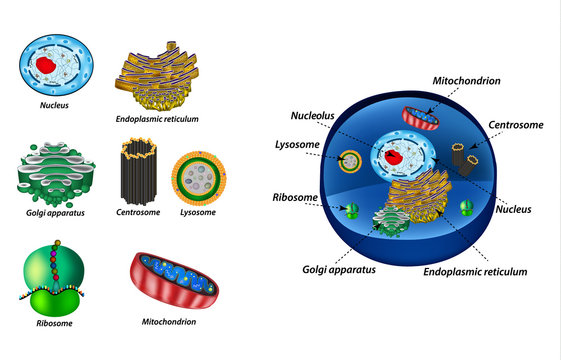 Set the cell organelles. Structure of human cells. Organelles. Nucleus, endoplasmic reticulum, Golgi apparatus, mitochondria, centrosome, lysosome, the ribosome. Infographics. Vector illustration.