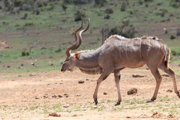 Greater Kudu bull, Tragelaphus strepsiceros, Addo Elephant National Park, Eastern Cape, South Africa