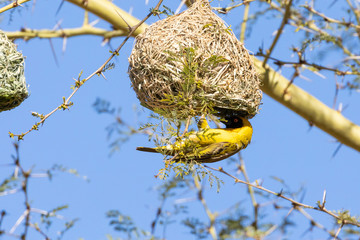 Breeding male Southern Masked Weaver or African Masked Weaver,  Ploceus velatus, hanging below nest, Western Cape, South Africa