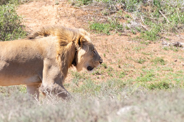 Young male lion, Panthera leo, hunting in Addo Elephant  National Park, Eastern Cape, South Africa