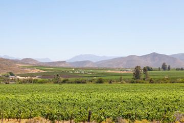 Vineyards in Breede River Valley at McGregor with Riviersonderend Mountains, Western Cape Winelands, South Africa