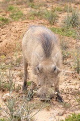 Warthog, Phacochoerus africanus,  Addo Elephant National Park, Eastern Cape, South Africa foraging  in close up frontal view