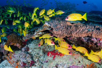 Colorful 5 line Snapper on a tropical coral reef