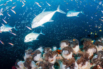 Large Trevally hunting on a coral reef (Richelieu Rock, Thailand)
