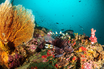 Lionfish on a coral reef