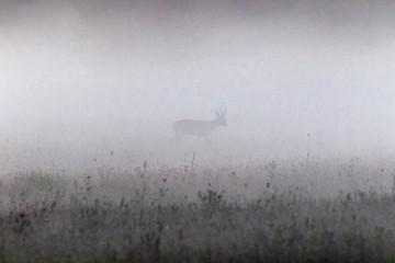 Kozioł we mgle