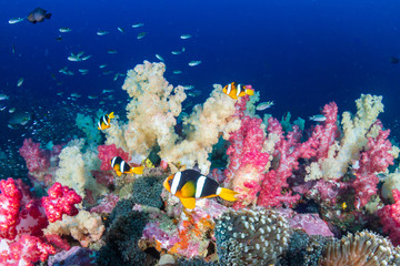 Banded Clownfish on a colorful tropical coral reef (Richelieu Rock)