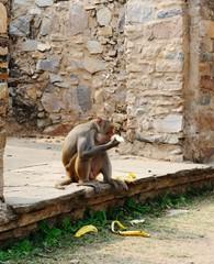 Macaque gorging on bananas