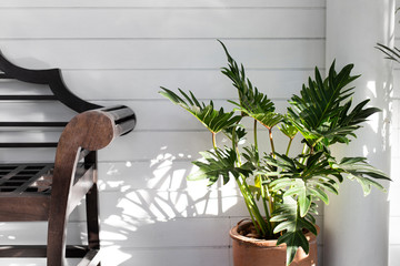 Philodendron xanadu in a pot on white background.