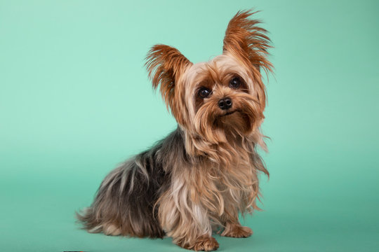Portrait of beautiful Yorkshire Terrier sitting in profile looking at camera on green background.
