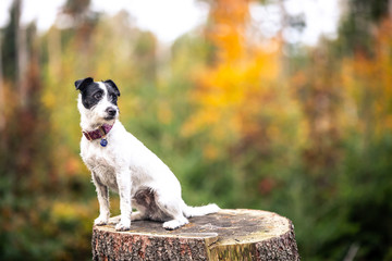 Lovely dog sitting on the huge stump in the somewhere of the forest, looking cute (color toned image)