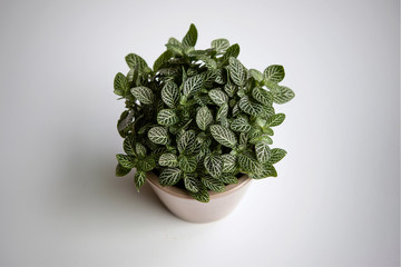 House plant: Fittonia albivenis (nerve plant) from above grows in the flower pot. Bright plain background. Ornamental houseplant. Acanthaceae