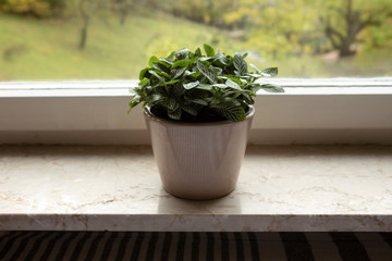 Green house plant with lush foliage : Fittonia albivenis (nerve plant) in flower pot on window sill. Beautiful fresh green Indoor Plant in beige flowerpot. Ornamental houseplant. Acanthaceae.