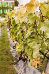 Grapes in the garden - grape farm for wine production