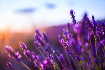 Papiers peints Prune Lavender flowers at sunset in Provence, France. Macro image, shallow depth of field. Beautiful nature background