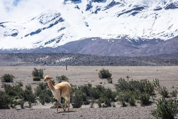Vigognes sur le volcan Chimborazo en Équateur