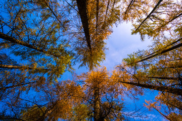 Foto op Canvas Aan het plafond Low angle view of tree tops framing the blue sky.