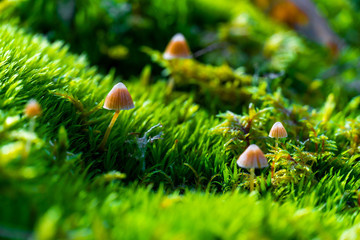 Closeup of brown forest mushrooms in the moss, background picture