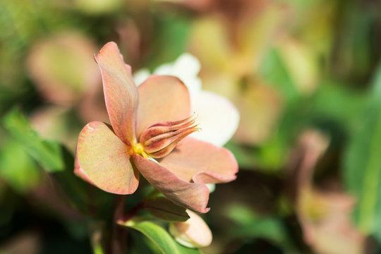 Lenten Rose close-up