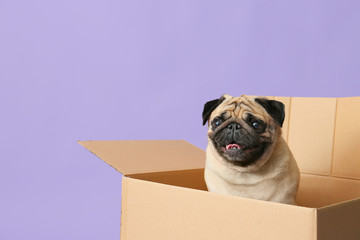 Spoed Fotobehang Hond Cute pug dog in cardboard box on color background