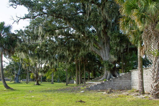 Tall Tree with Spanish Moss Growing out of Stone Stair Ruins