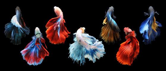 Betta fish, siamese fighting fish, betta splendens isolated on black background, fish on black background, Multi color Siamese fighting fish, Fototapete