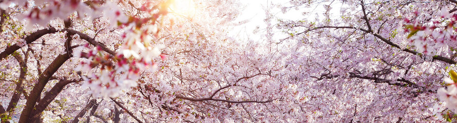 Fototapeten Kirschblüte Spring banner background with full bloom cherry flowers and sun flare.