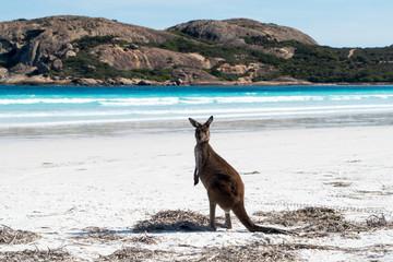 Standing kangaroo on the beach during the beautiful sunny day in Lucky Bay, Australia (Western Australia, Esperance, 2019)