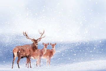 Wall Mural - Group of noble deer in the snow. Christmas artistic image. Winter wonderland. Copy space.