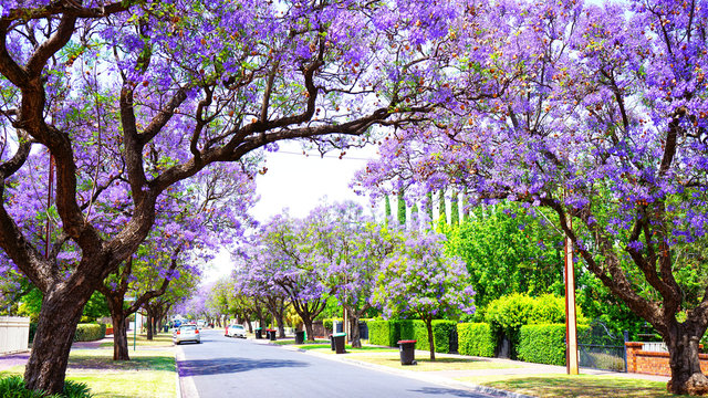 Beautiful purple flower Jacaranda tree lined street in full bloom. Taken in Allinga Street, Glenside, Adelaide, South Australia.