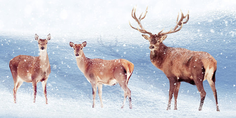 Wall Mural - Group of noble deer in the snow. Christmas artistic image. Winter wonderland.