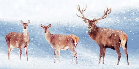 Fototapete - Group of noble deer in the snow. Christmas artistic image. Winter wonderland.