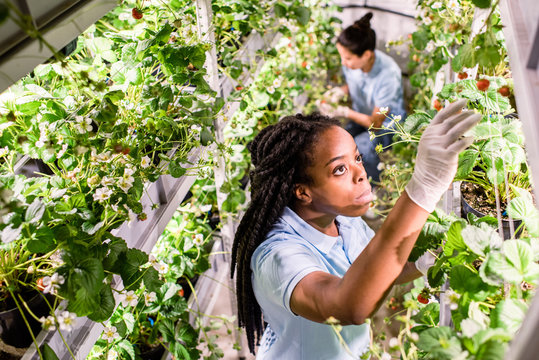 African woman looking for ripe strawberries while picking them up in greenhouse