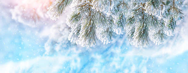 winter nature background with snowy fir branches. Christmas tree on frosty snowy landscape. beautiful winter season scene, New Year and Xmas concept. close up, soft selective focus. banner