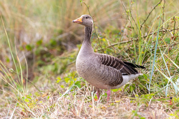 Greylag goose (Anser anser) in the dunes on Juist, East Frisian Islands, Germany.