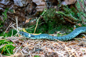 Grass Snake (Natrix natrix) on the forest floor in the nature protection area Moenchbruch near Frankfurt, Germany.