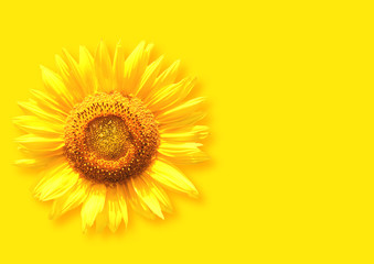 Fototapete - Sunflower on background of yellow color