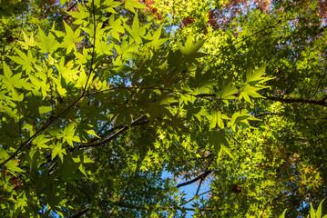 空を仰ぐ紅葉