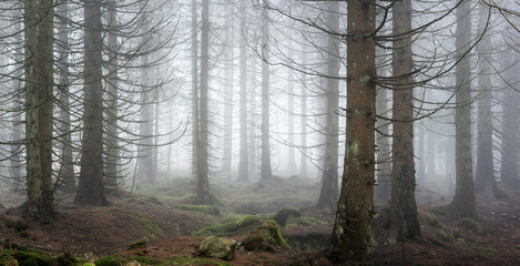 Foggy Forest of Spruce Trees
