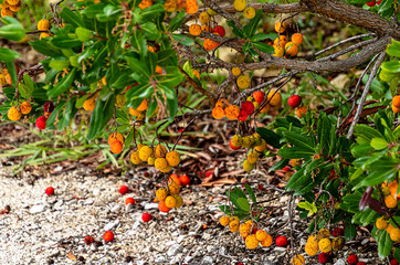 Evergreen strawberry tree (Arbutus unedo)