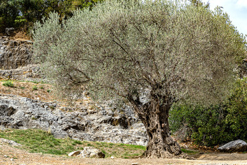 Large old olive tree in a Mediterranean garden of Pont du Gard, France