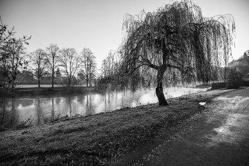 Willow Tree On The Bank Of River Severn