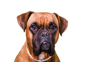 Portrait of cute boxer dog on white backgrounds, isolated