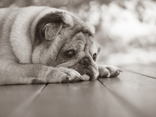 An old pug dog Lying on the balcony of the house, Sad face dog,, Sepia picture