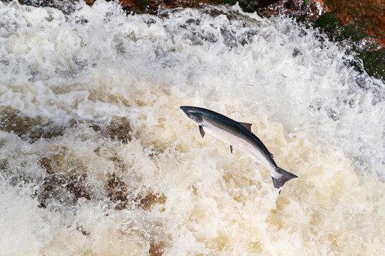 large wild atlantic salmon leaping on water