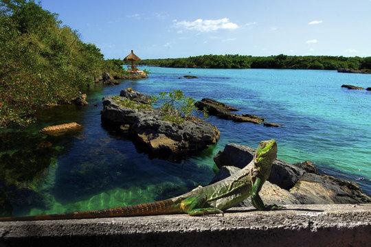 Green iguana on vacation taking a shower of sun near to Cancun, Mayan Riviera, Mexico.