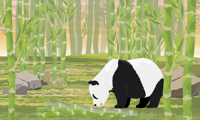 Giant Panda sniffs the fallen trunks of bamboo. Bamboo forest. Asian animals. China Realistic vector landscape